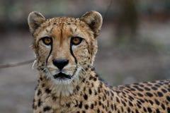 Gepard, Acinonyx jubatus, pi?kny ssaka zwierz? w zoo zdjęcia stock