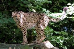 Gepard, Acinonyx jubatus, pi?kny ssaka zwierz? w zoo obraz royalty free
