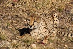 Gepard, Acinonyx jubatus przy gemową przejażdżką w Namibia Afryka obraz royalty free