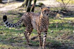 Gepard, Acinonyx jubatus, sch?nes S?ugetiertier im Zoo stockfotografie