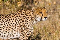 Gepard (Acinonyx jubatus soemmeringii) Stockfoto