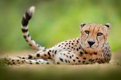 Gepard, Acinonyx jubatus, szczegółu dziki kot portret Szybki ssak na ziemi, Etosha NP, Namibia w Afryka Przyrody scena zdjęcie stock