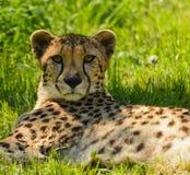 Gepard - Acinonyxjubatus Royaltyfri Bild