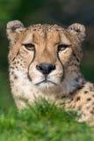 Gepard - Acinonyxjubatus arkivbilder