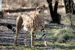 Gepard Acinonyxjubatus, härligt däggdjurs- djur i zoo royaltyfri foto