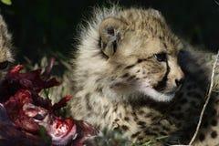 Gepard, Addo Elephant National Park Stockfotografie