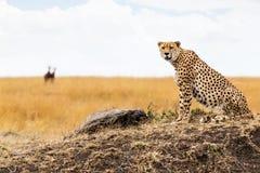 Gepard in Afrika, das Kamera untersucht lizenzfreie stockfotos