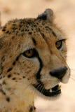 gepard afrykańskiej zdjęcia stock