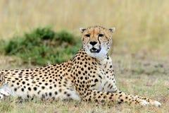 gepard Afryka, Kenja Zdjęcie Stock