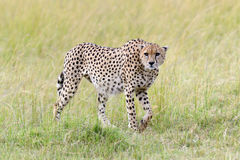 gepard Afryka, Kenja Obraz Stock