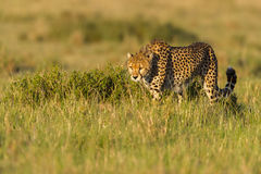 Gepard-anpirschende Kap-Hasen, Masais Mara, Kenia Stockfotografie