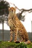 Gepard auf Ausblick Lizenzfreie Stockfotos