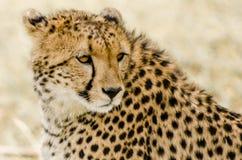 Gepard auf das Masai Mara Stockbild