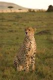Gepard auf dem Ausblick Stockfoto