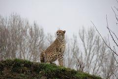 Gepard auf dem Hügel stockbilder