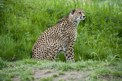 Gepard auf dem Prowl Lizenzfreies Stockfoto