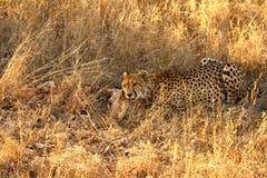 Gepard auf einem Abbruch Stockbild