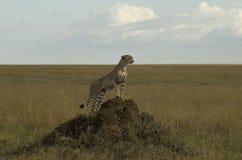 Gepard auf einem Ameisen-Hügel Stockfotos