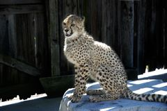 Gepard auf einem Felsen Stockbild