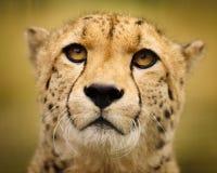 Gepard auf einem Gebiet des braunen Grases Lizenzfreies Stockbild