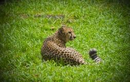 Gepard auf einem Gras Lizenzfreie Stockfotografie