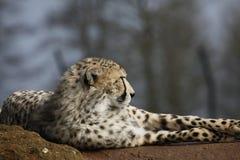 Gepard auf Felsen lizenzfreies stockfoto