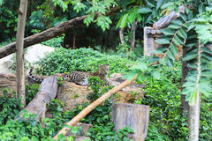 Gepard auf Felsen stockfotos