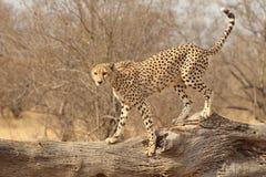 Gepard auf gefallenem Baum Stockfoto