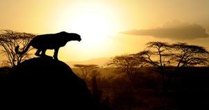 Gepard bei Sonnenuntergang auf Natioanl-Park in Kenia stockbild