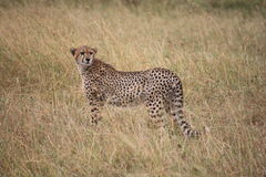 Gepard beschmutzt Lizenzfreie Stockfotografie