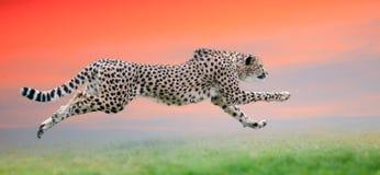 Gepard biegający przy pięknym zmierzchem Zdjęcie Royalty Free