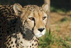 Gepard - Cheetah Royalty Free Stock Photos