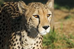 Gepard - Cheetah Royalty Free Stock Photography