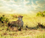 Gepard Stock Photography