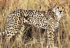 Gepard Stock Photos
