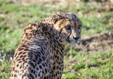 Gepard Royalty Free Stock Image