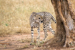 Gepard chodzi wokoło drzewa na sawannie w Tsavo zachodu rezerwie zdjęcie stock