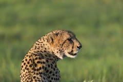 Gepard cieszy się popołudniowego słońce Zdjęcie Stock