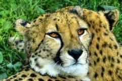 Gepard contempla una presa Fotos de archivo
