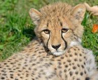 Gepard Cub Stockfotos