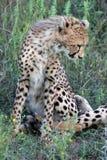 Gepard Cub Stockfoto