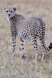 Gepard, der über Schulter schaut Lizenzfreies Stockbild