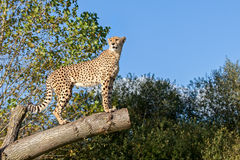 Gepard, der auf Baum-Zweig mit Exemplar-Platz steht stockfotografie