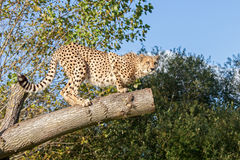 Gepard, der auf einem Baum-Zweig sich duckt Lizenzfreie Stockbilder