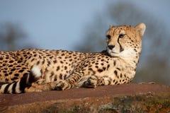 Gepard, der auf einem Felsen liegt Stockfoto
