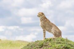 Gepard, der auf einem Hügel auf Savanne sitzt Lizenzfreies Stockfoto