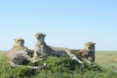 Gepard, der auf einem Hügel auf Savanne sitzt Lizenzfreie Stockbilder