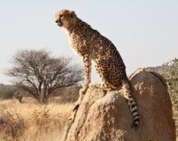 Gepard, der auf Felsen sitzt Stockbilder