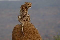 Gepard, der auf Termitenhügel in Namibia sitzt lizenzfreies stockbild