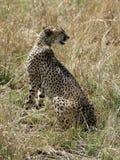 Gepard, der in der Savanne sitzt Stockfotografie